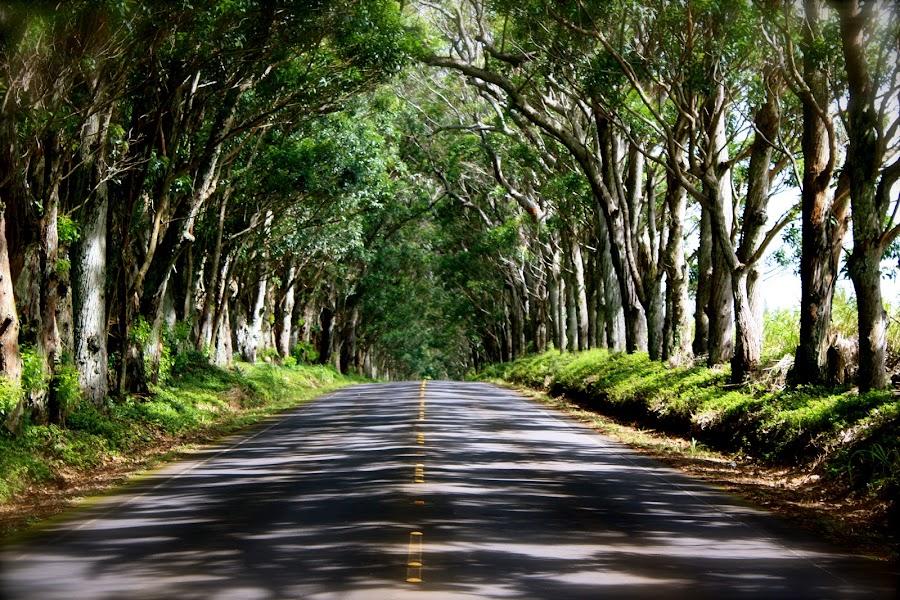 Tunnel of Trees, Kauai by Dani Fields - City,  Street & Park  Street Scenes