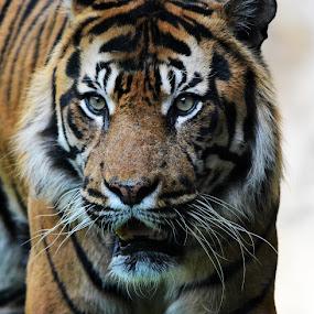 Big Cat by John More - Animals Other Mammals ( big cat, cat, tiger, close up, animal )