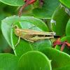 Slender Green-winged Grasshopper