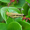 Slender Green-winged Grasshopper