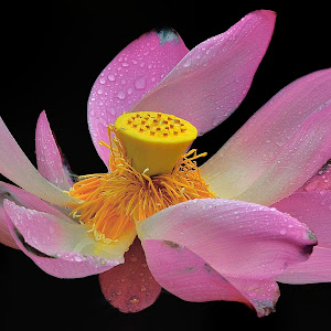 Aug 9 lotus after rain.jpg