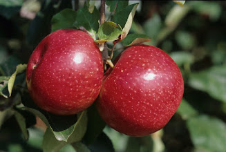 "Photo: 'Beacon' apple developed by the University of Minnesota Agricultural Experiment Station.  Released in 1936.  Ripens last week of August in Minnesota.  MAES project #21-016, ""Breeding and Genetics of Cold Hardy Fruit Crops."""