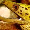 Frimbriated Moray Eel