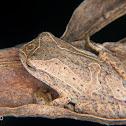 Lesser treefrog