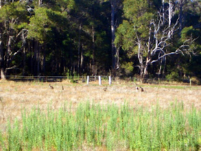 Photo: und dazu frei lebende Kängurus