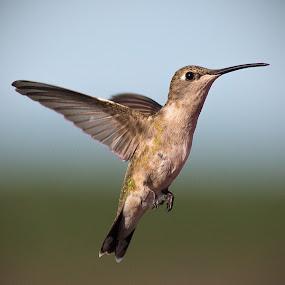 by April Nowling - Animals Birds ( bird, nature, hummingbird, texas, wildlife, hummer,  )