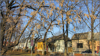 Photo: Arțar, Paltin de munte - (Acer pseudoplatanus) - din parcul din Piata Basarabiei - 2017.02.13