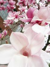 Photo: Pink magnolia blossoms tumbling down the branch at Wegerzyn Gardens in Dayton, Ohio.