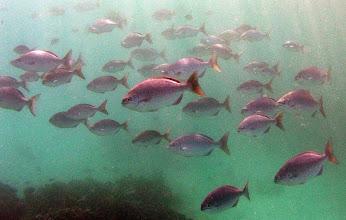 Photo: Bermuda Chub
