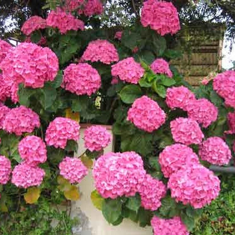 hortensia floristerías Mayoflor
