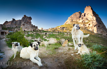 "Photo: The Dogs of Cappadocia You go out to find one thing, but something else comes to find you Cappadocia, Turkey  It was early morning when I woke up in my cave, carved from the soft pyroclastic rock that makes up the area. The goal was to photograph the ""Fairy Chimneys"" the formations and dwellings lit by the morning sun in the beautiful Turkish town of Cappadocia.  I wandered alone from rock to dwelling, looking for interesting formations and stimulating architecture. After emerging from a tunnel I was exploring, I began to hear a scratching sound of footsteps and a deep ""woof!"" clearly directed at me. A little nervous as I don't know these dogs, I cautiously let them approach and investigate me with a sniff. I realise then that these dogs are very accustom to people and had no problems with me being there. As I further explored the area the number of dogs curious about my presence grew as they popped out of various nooks and crannies.  The dogs of Cappadocia and most of Turkey have a different way of life than I'm used to in North America. My guide told me that every dog is subjected to a mandatory neutering program, this has greatly reduced the number of stray dogs. It's also common that someone may ""own"" a dog, but they leave them free in the streets, as opposed to having them live in a house and yard. The owner or community may feed the dogs food and scraps and may enjoy their company when they encounter them randomly. Other people may visit their dogs on a seasonal basis when they are in town from their work season in the city.  I came out to photograph architecture and scenery, then got ambushed by a new subject!  Photographic Details: I shot this with a wide angle 16-35mm f2.8mm lens, great for scenery and landscape shots, very handy with these dogs. I wanted the focus to be more on the dogs and their expressions, so I opted for a shallow depth of field at f2.8 I rarely edit an image with a clone brush, it's hardly needed out in the wild, but this one had a lamp post sticking into the sky that did not make me happy. I think a photographer needs to be open and honest about modifications like these, and many who depend on these edits are (Art Wolf is a great example who stunned the photographic world with his african edits in the 90's). A personal photographic critique, I think there is too much negative space in the middle of this photograph, while I like to follow the rule of thirds I feel like something of interest in the middle could enhance this image. edit A circular polariser as well as a graduated filter was employed in the lens to help darken the sky,"