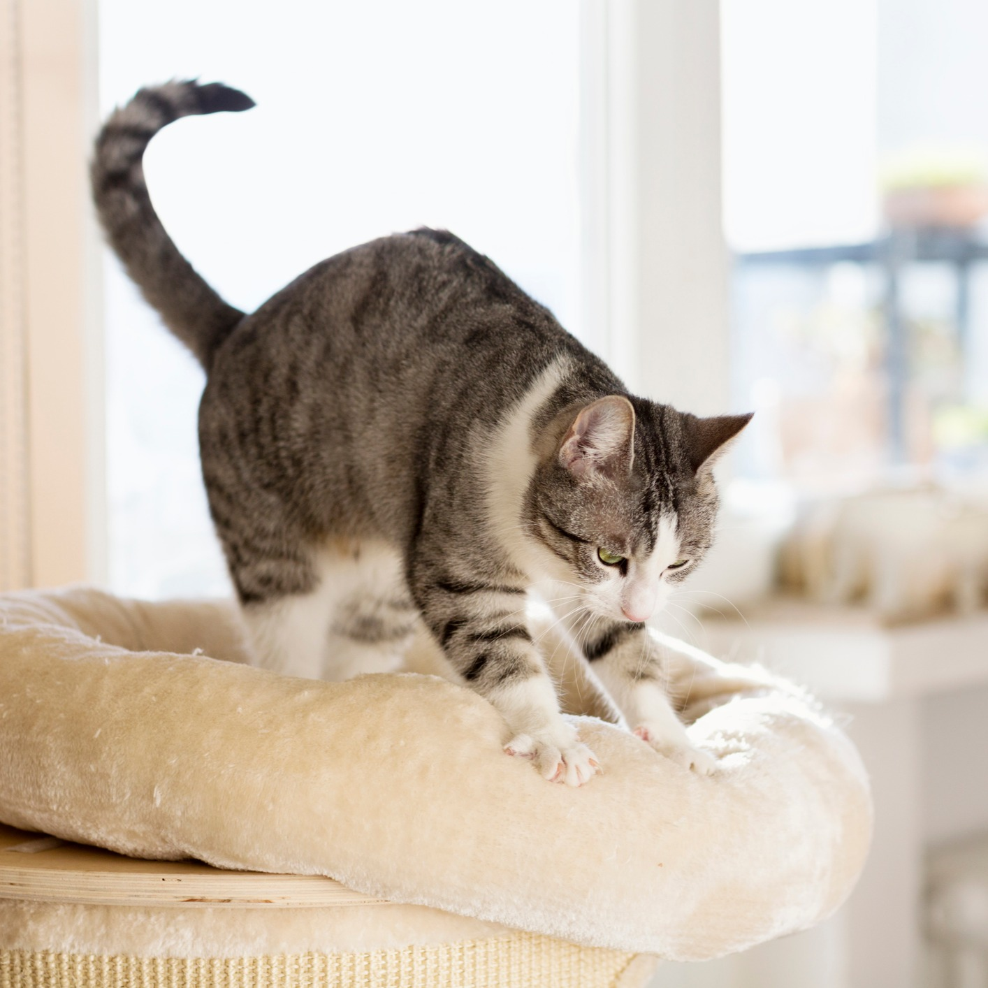 Why Cats Knead
