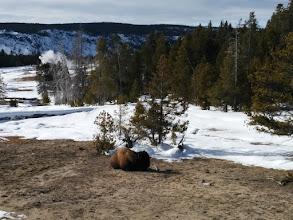 Photo: Sleeping buffalo (really bison)