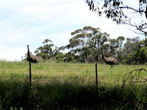 Photo: Year 2 Day 160 - The Emus