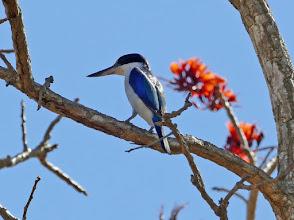 Photo: Day 2 -  Forest Kingfisher on the Mamaukala loop walk © Ian Morris