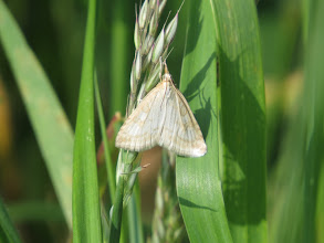 Photo: 17 Jul 13 Priorslee Lake Rather 'blown-out' by the strong sun (not complaining: just observing!) this is a Pale Straw Pearl (Udea lutealis) moth. Easily flushed during the day, but hard to get a good look at. (Ed Wilson)