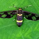 Hand maiden moth