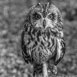owl by Garry Chisholm - Black & White Animals