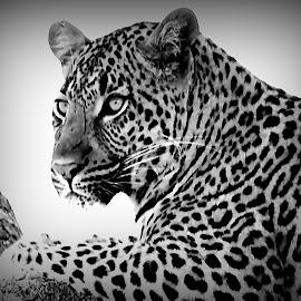 Leopard Close-up by Pieter J de Villiers - Black & White Animals