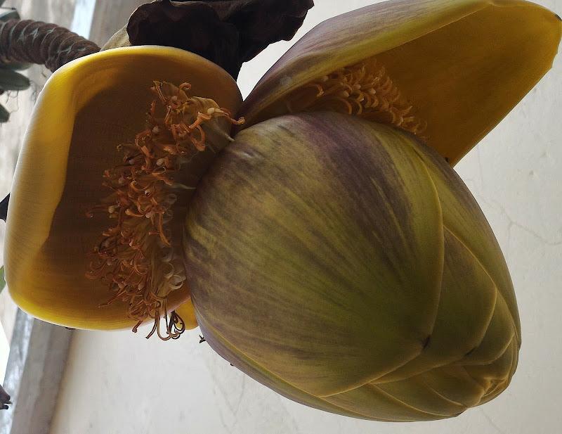 Fiore di banano di VeraWilma