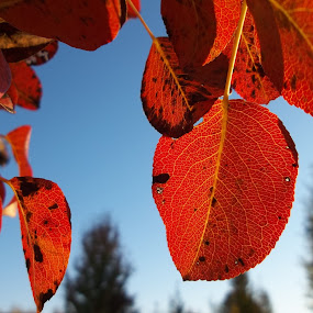 Листа by Georgi Kolev - Nature Up Close Leaves & Grasses ( небе., есен., ден., светлина., дървета., листа. )