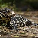 White-and-black Tegu Lizard