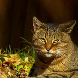 by Nicolaie Subotin - Animals - Cats Portraits