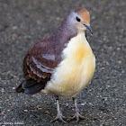 Cinnamon Ground Dove