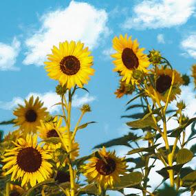 Sunflower Morning by Greg Croasdill - Flowers Flower Gardens ( painterly, ann arbor, sunflowers, sunrise, garden,  )