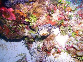 Photo: Smooth Trunkfish