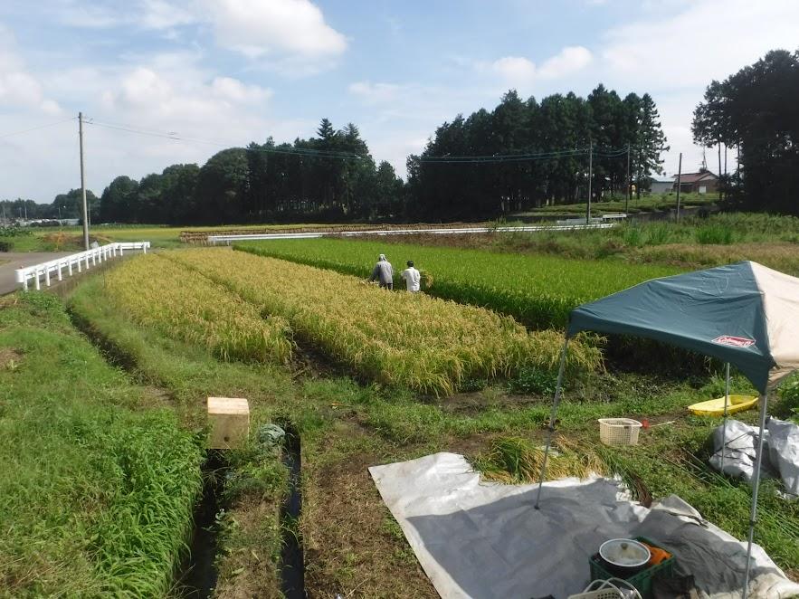 バインダーで稲刈りを始めたところ