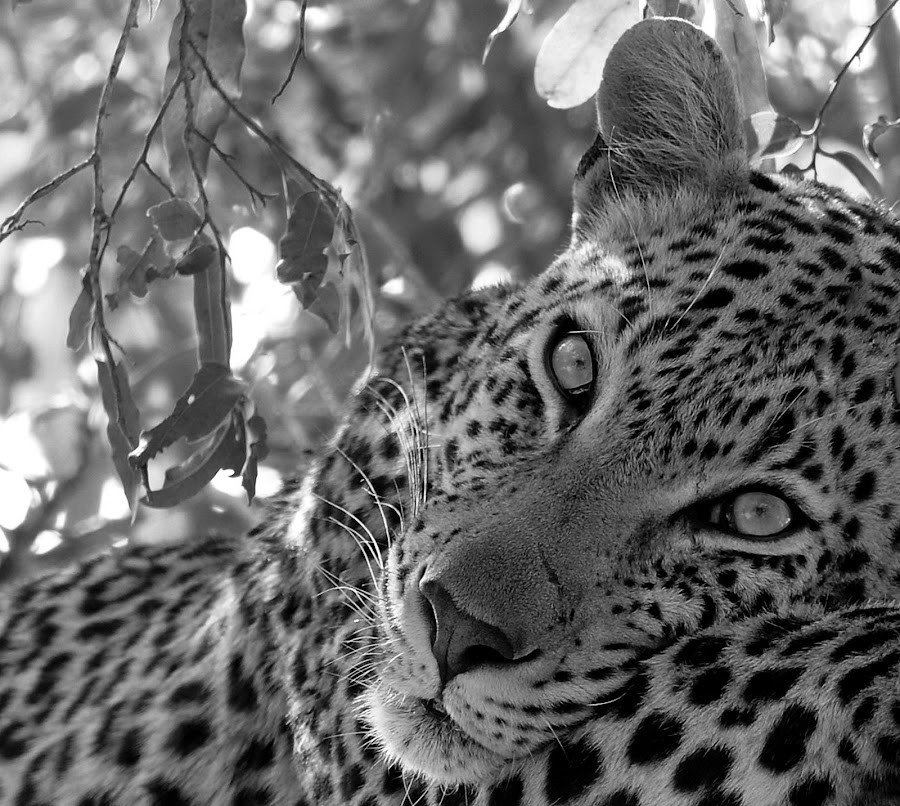 Eyes of the Leopard by Marc de Chalain - Animals Lions, Tigers & Big Cats ( predator, african big game, hunteru, black and white, large cats, leopard,  )