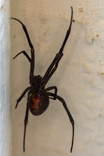 Photo: A black widow spider keeps this park's pit toilet clear of flies