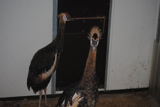 Photo: headstudy of 2 young black crowned cranes hatch 2010 in quarantine.
