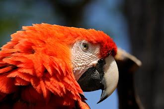 Photo: scarlet macaw portrait