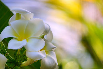 Photo: Plumeria