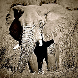 Ellie by Pieter J de Villiers - Black & White Animals