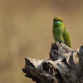 Green Bee Eater by Shreyas Kumar - Animals Birds ( bird, green bee eater, green bird, kanha tiger reserve, portrait,  )