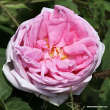 Photo: Historische Rose Muscosa, Züchter: Holland 1796