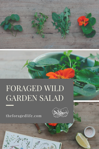 Foraged wild garden salad of nasturtiums, chickweed, dandelion and pennywort. Learn the medicinal and nutritional benefits of this foraged salad! | Recipes | The Foraged Life.