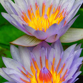 A Pair of Water Lillies by Cathy Hood - Flowers Flower Gardens