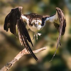 Osprey Launching by Carl Albro - Animals Birds ( flying, branch, take off, hawks and eagles, osprey )