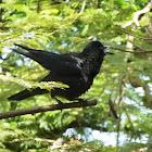 Indian Raven