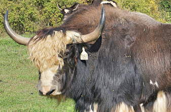 Photo: Yaks are highly friendly in nature and can easily be trained. There has been very little documented aggression from yaks towards human beings, although mothers can be extremely protective of their young and will bluff charge if they feel threatened.