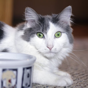 Patch by Sandy Considine - Animals - Cats Portraits ( male cat, green eyes, gray and white )