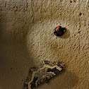 Multicolored Asian lady beetle (and moth)
