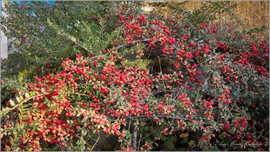 Photo: Gaultheria, Pernettya (Gaultheria spp) - din Piata 1 Decembrie 1918, spatiu verde - 2016.11.18