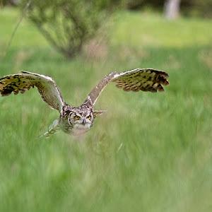 Horned Owl 6.jpg