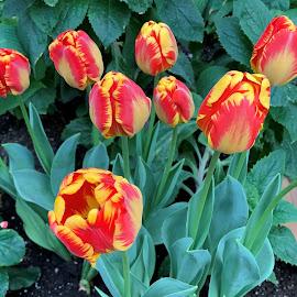 Tulips by Carol Leynard - Instagram & Mobile iPhone ( spring flowers, flowers, tulips, red & yellow )
