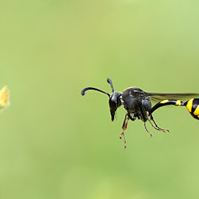 Anti Traffic by Just Arief - Animals Insects & Spiders ( macro, wasp, batural, yellow, insect, tail, close up, photography, in flight, black, animal )